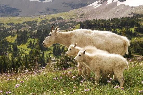 West Glacier, MT: Mountain goats next to the trail