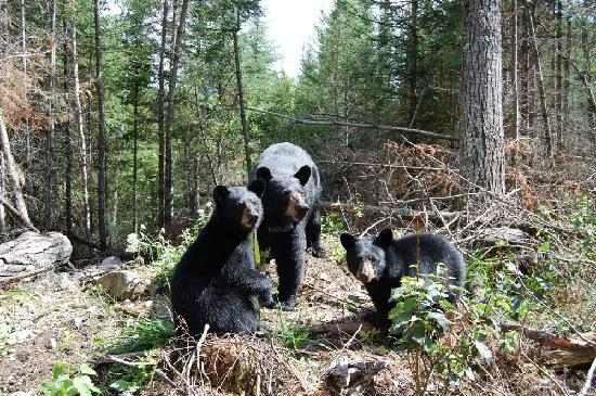 Grand Ely Lodge: Bears we saw during our trip