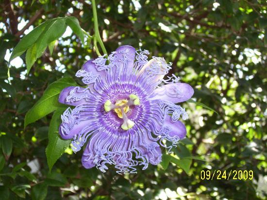 Coconut Creek, Flórida: pretty passion flower