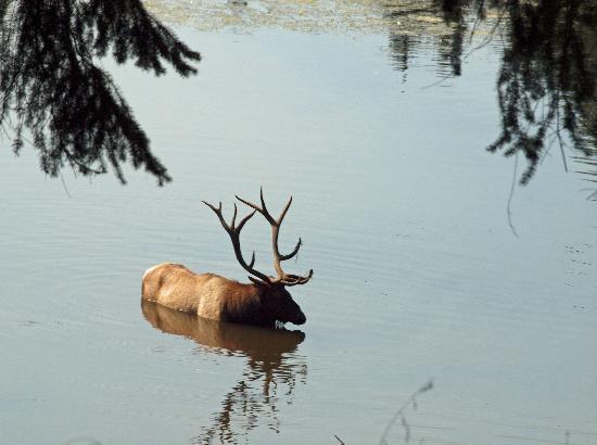Eatonville, WA: Bull Elk in water