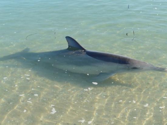 Western Australia, Australia: Monkey Mia dolphins