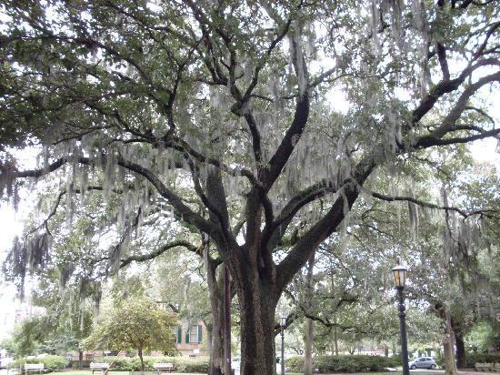 Holiday Inn Express Savannah - Historic District: Savannah tree