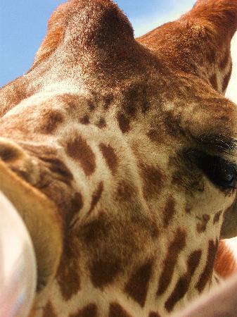 African Safari Wildlife Park: feeding the giraffe