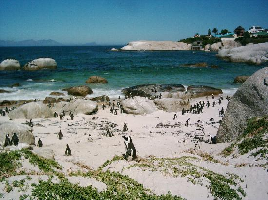 Simon's Town, Güney Afrika: Penguins on Boulders Beach