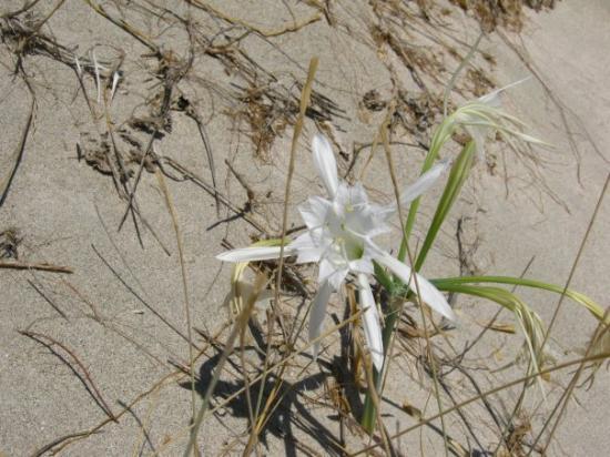 Plage d'Elafonissi : Elafonisi e il fiore bianco