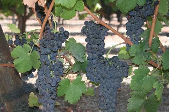 Santa Barbara, CA: Grapes