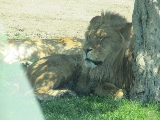 African Lion Safari: The Lion King