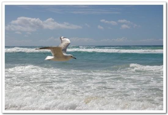 Surfer's Paradise Beach: Sea gull