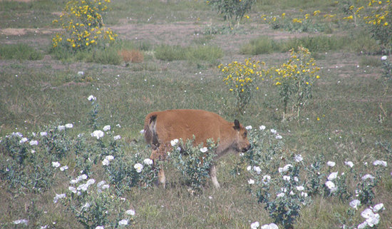 Commerce City, CO: baby bison munching the wildflowers at the refuge