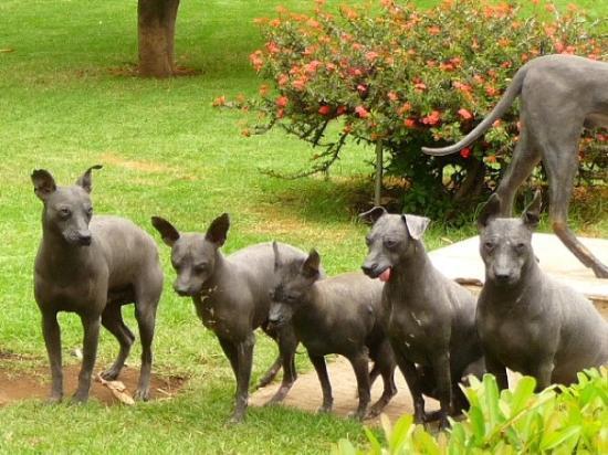 Museo Dolores Olmedo Patino: Xoloitzcuintle, mexikanische Nackthunde
