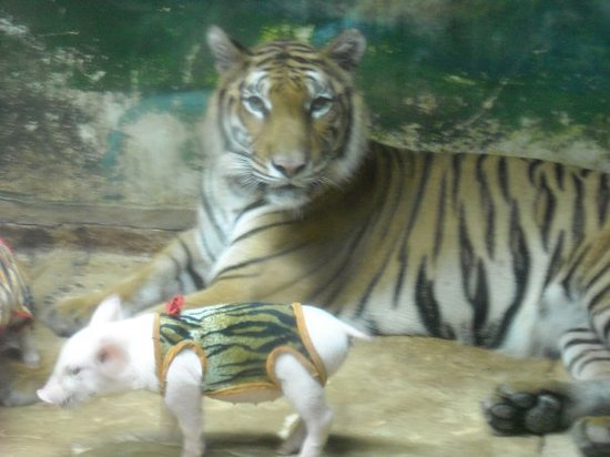 Chonburi, Tajlandia: Tiger mom and a litter pig.