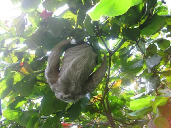 Hy Paradise Inn: babaloo resident sloth