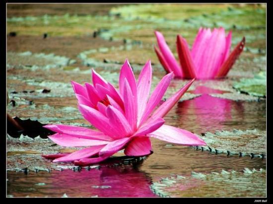 นิกโกะ บาหลี รีสอร์ท แอนด์ สปา: Lotus