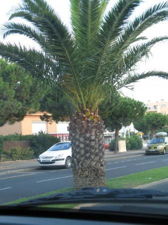Argeles-sur-Mer, Frankrike: il é bo  mon palmier !!
