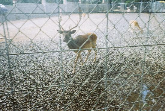 Texarkana, Αρκάνσας: Fallow deer up close and personal