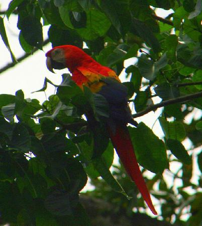 Golfo Dulce Lodge: Macaws Everywhere