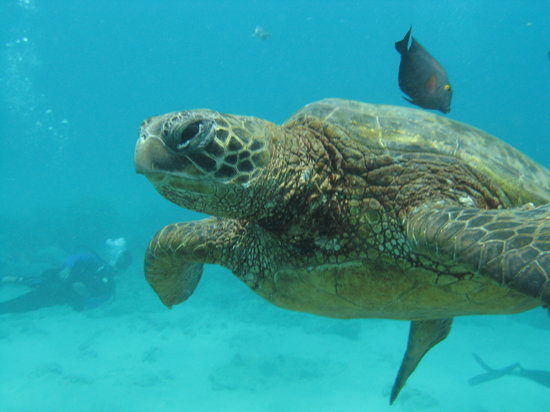 Kaimana Divers: Sea Turtle