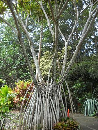 Tropical Gardens of Maui: walking tree