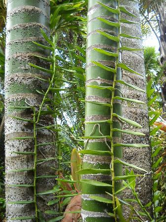 Tropical Gardens of Maui: vines growing on the trees