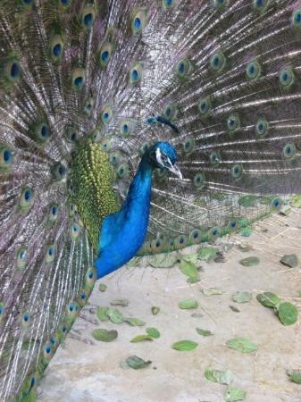 Brownsville, TX: 5/22/09 - Gladys Porter Zoo - Peacock