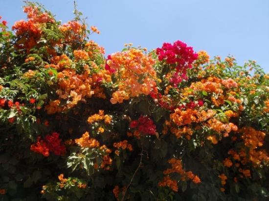Asmara, Eritrea: buganvillea bicolore