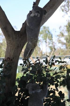 Cohunu Koala Park ภาพถ่าย