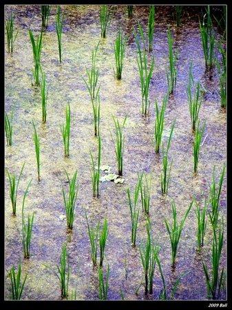 Tegalalang Rice Terrace : Tegallalang (Rice Terrace)