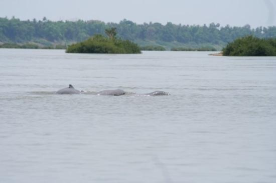 Freshwater dolphins in Mekong river. Kratie