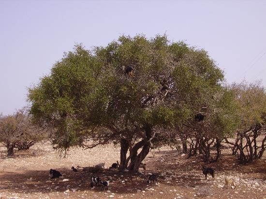Ranch de Diabat: Capre sulla pianta