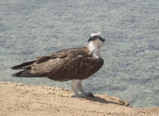 Jaz Lamaya Resort: resident osprey