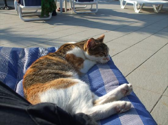 The Phoenicia Malta: Friendly cat who visits the pool area