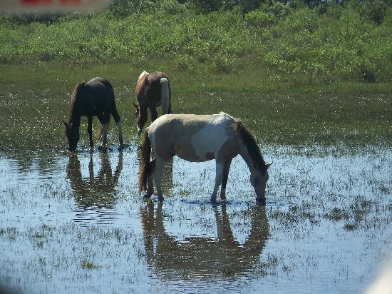 Chincoteague Natural History Association  Wildlife Tour : More ponies