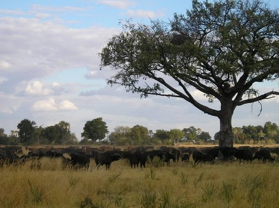 ‪‪Moremi Game Reserve‬, بوتسوانا: Buffalo Herd - Okavango Delta, Botswana‬