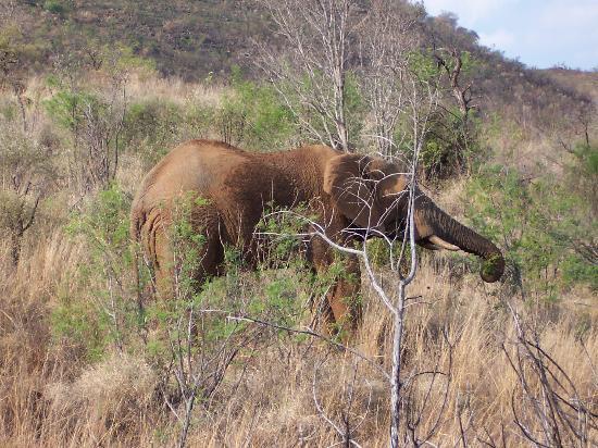 باكوبونج بوش لودج: Elephant on game drive