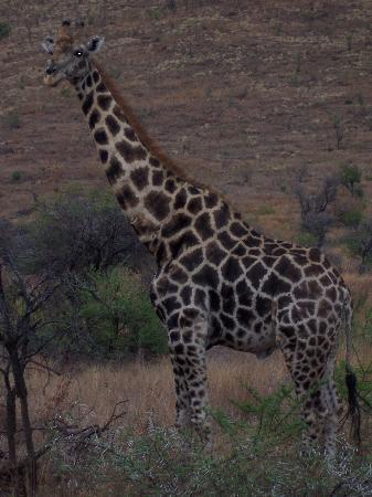 Bakubung Bush Lodge: Giraffe on game drive