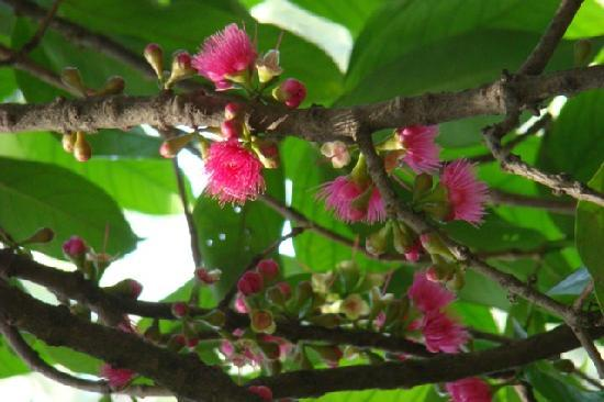 Victoria Gardens (Jijamata Udyan): Victoria Gardens - Syzygium Malaccense
