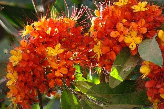 Victoria Gardens (Jijamata Udyan): Victoria Gardens - Saraca Indica