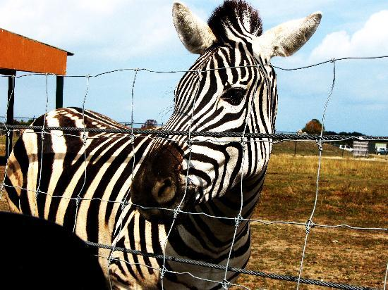 African Safari Wildlife Park: zebras and camels are behind a wire fence