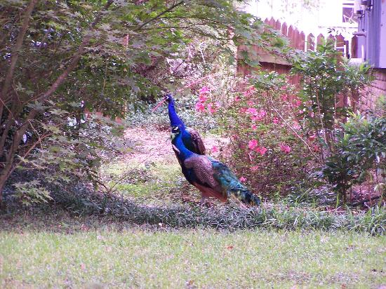 Magnolia Springs Bed & Breakfast: Resident Peacocks