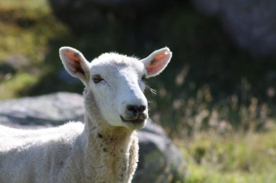 Maunganui Beach: Sheep