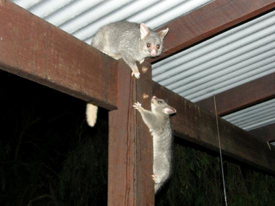 Yelverton Brook Eco Spa Retreat & Conservation Sanctuary: Possum antics