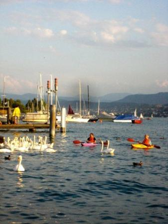 Zurique, Suíça: Kayaks and swans