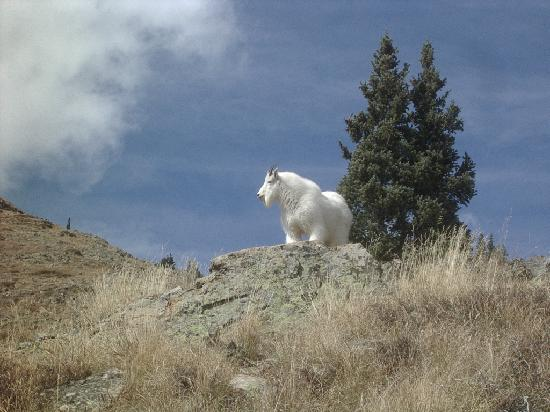 Animas Forks: Mountain goat at Animas.