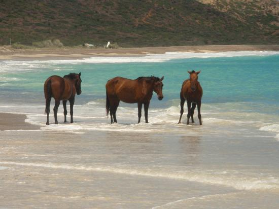 Cabo Pulmo Beach Resort: horses down the beach keeping cool