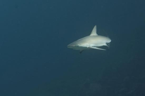 Coral Paradise Resort: Black tip shark