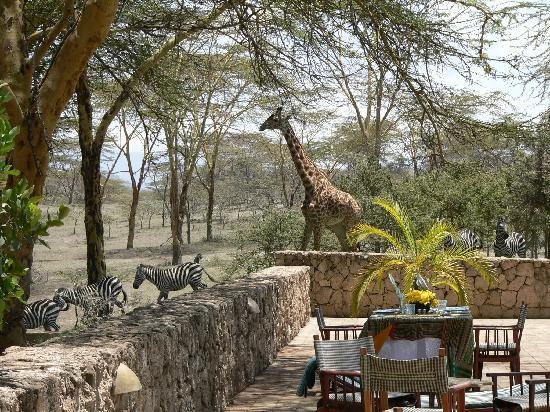 Hippo Point & Dodo's Tower : Girafe and zebras crossing while having lunch