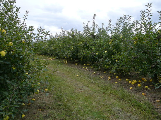 Elkton, MD: Golden Delicious Apple Trees Milburn Orchards