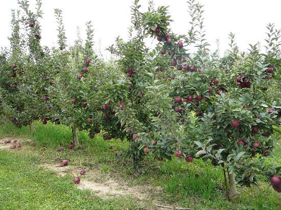 Red Delicious Apple Trees Millburn Orchards Picture Of Milburn