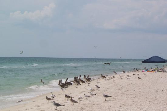 Landmark Holiday Beach Resort: pelicans on panama cirt beach