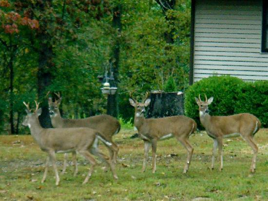 Mountain Home, AR: Deer in front of office